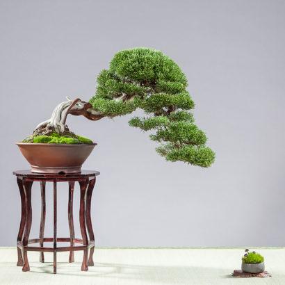 juniperus chinensis (Chinesischer Wacholder) gestaltet seit ca. 2010 Schale: Peter Krebs Tisch: Juergen Meyer Foto: BCD/Bastian Busch
